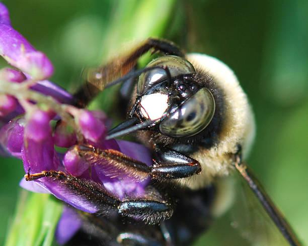 Bee's Eyes stock photo