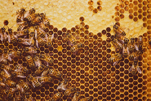 Bees feeding cells with honey