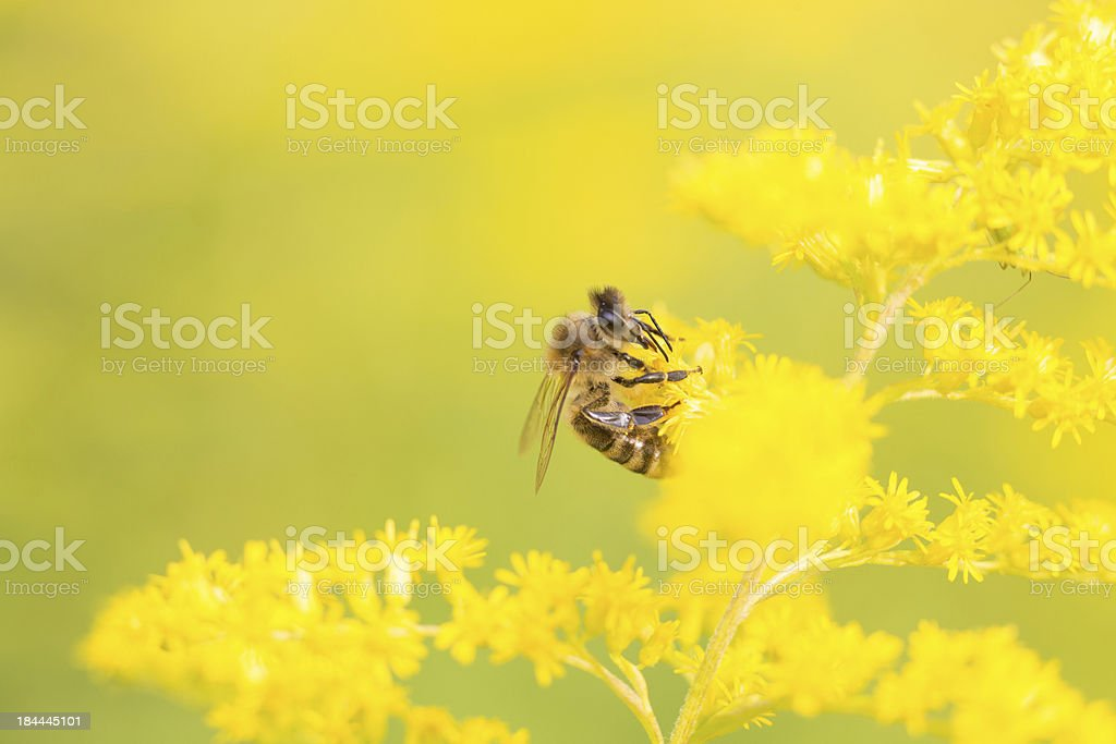 Bees feeding on nectar and pollen royalty-free stock photo
