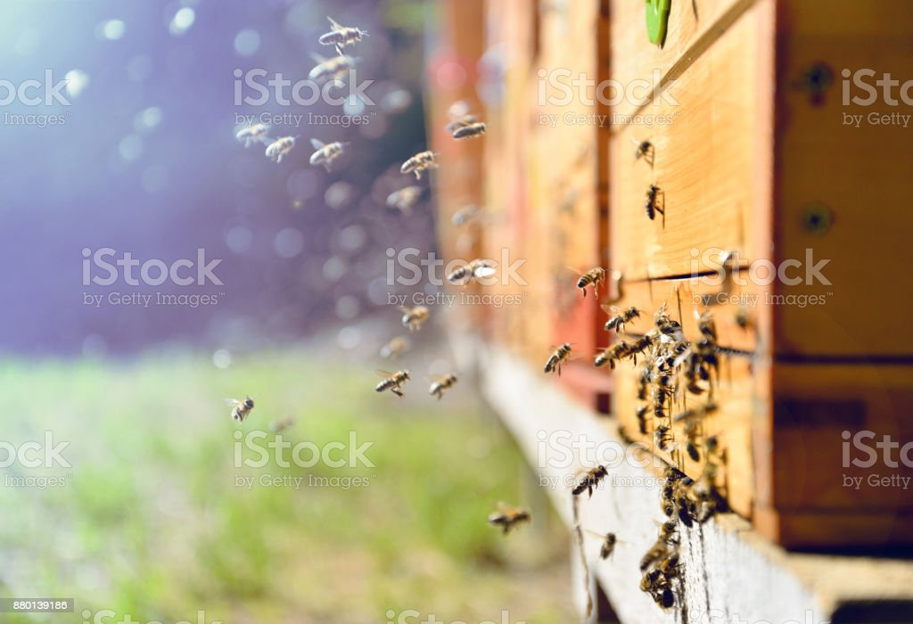 Bees flying around beehive. Beekeeping concept. stock photo