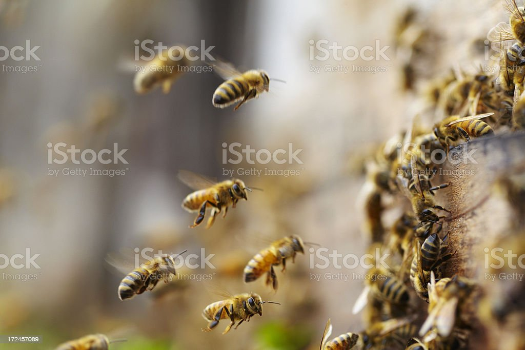 bees flying stock photo
