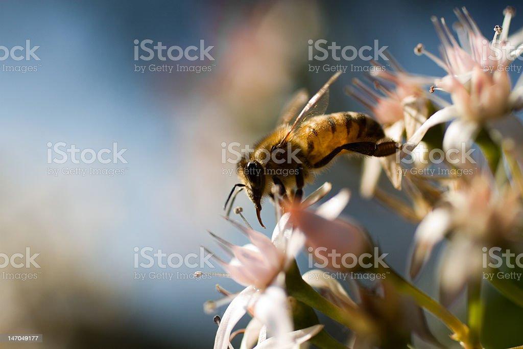 Bee's Harvest XXL stock photo