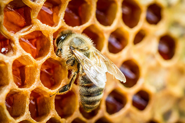 Bees in a beehive on honeycomb stock photo