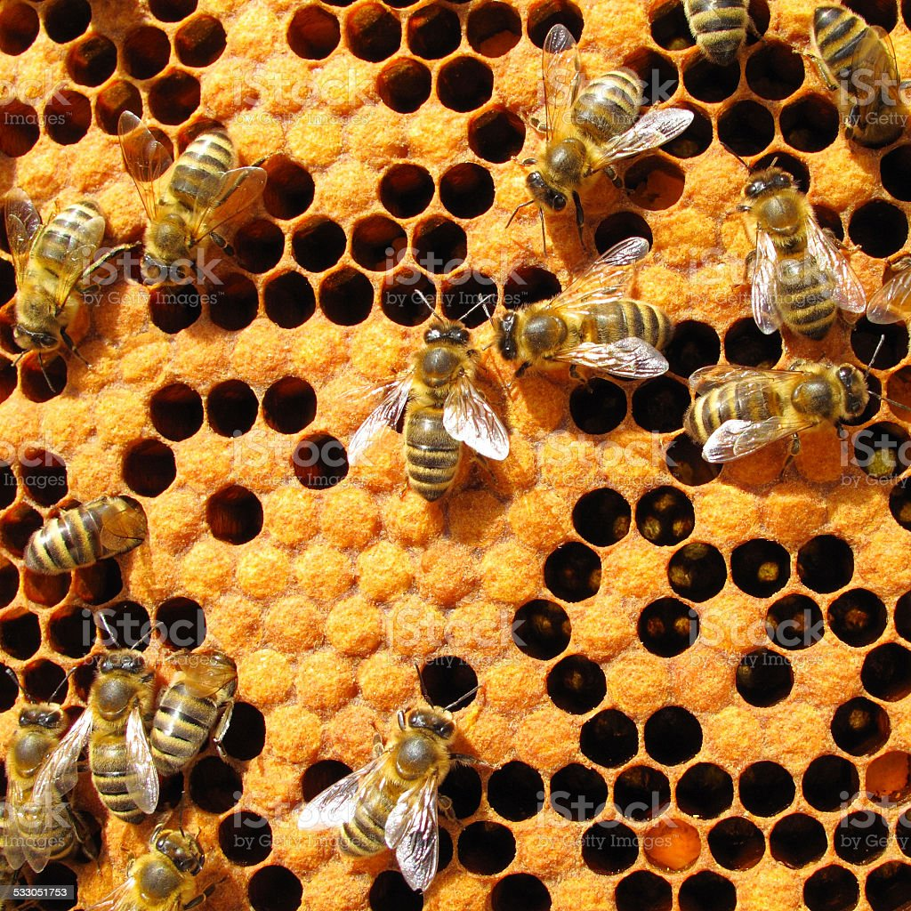 Bees in beehive Bees working on honey cells in beehive. Close up macro. 2015 Stock Photo