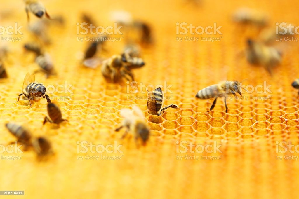 Bees in honeycomb stock photo