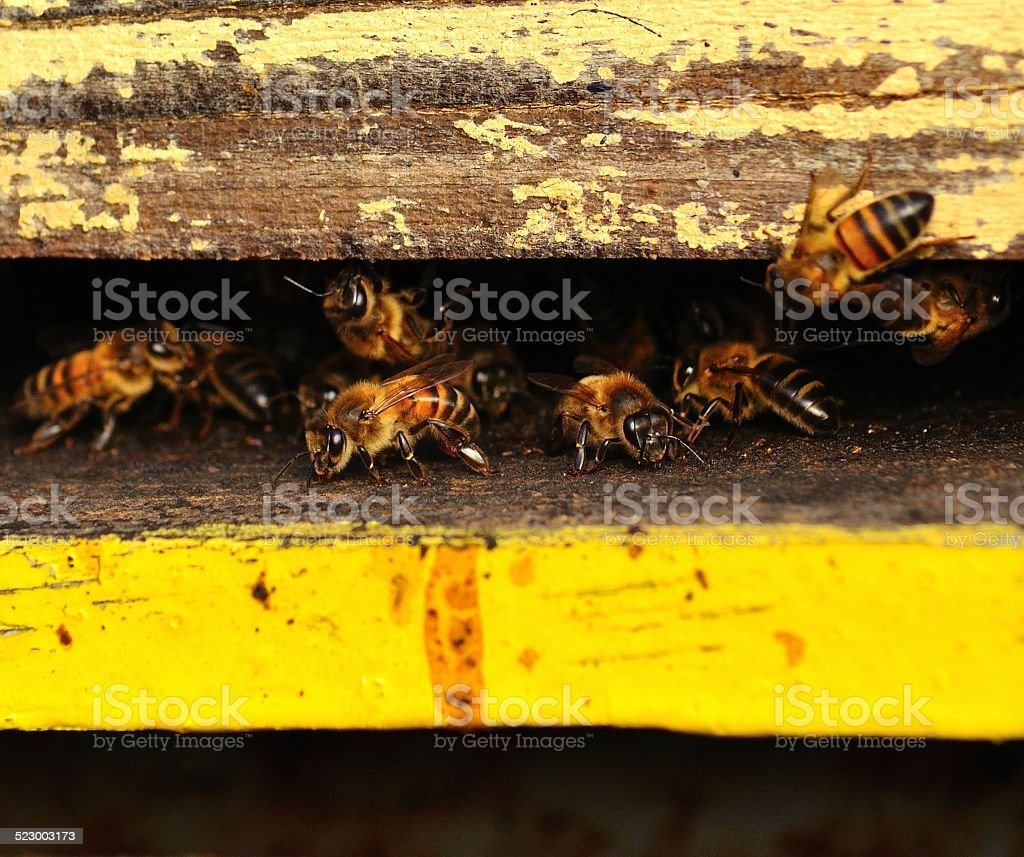 Bees in the hive entrance stock photo