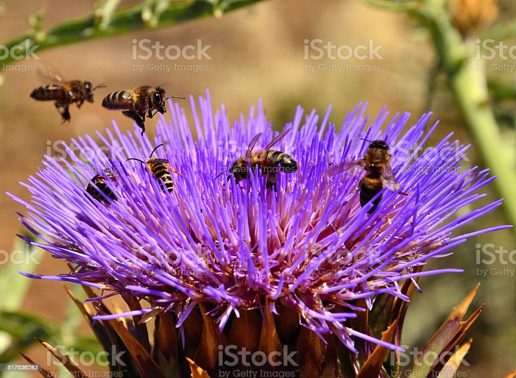 Bees inside and overflying wild artichoke flower stock photo