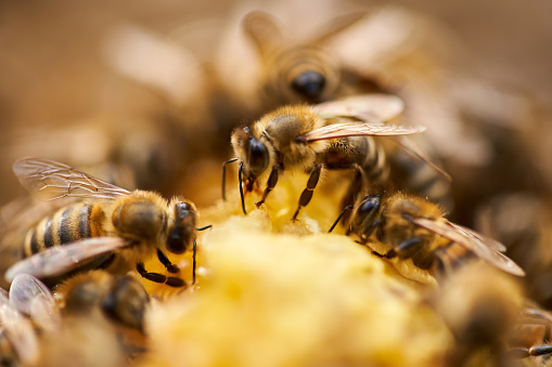 Bees swarming and feeding on the comb inside the hive