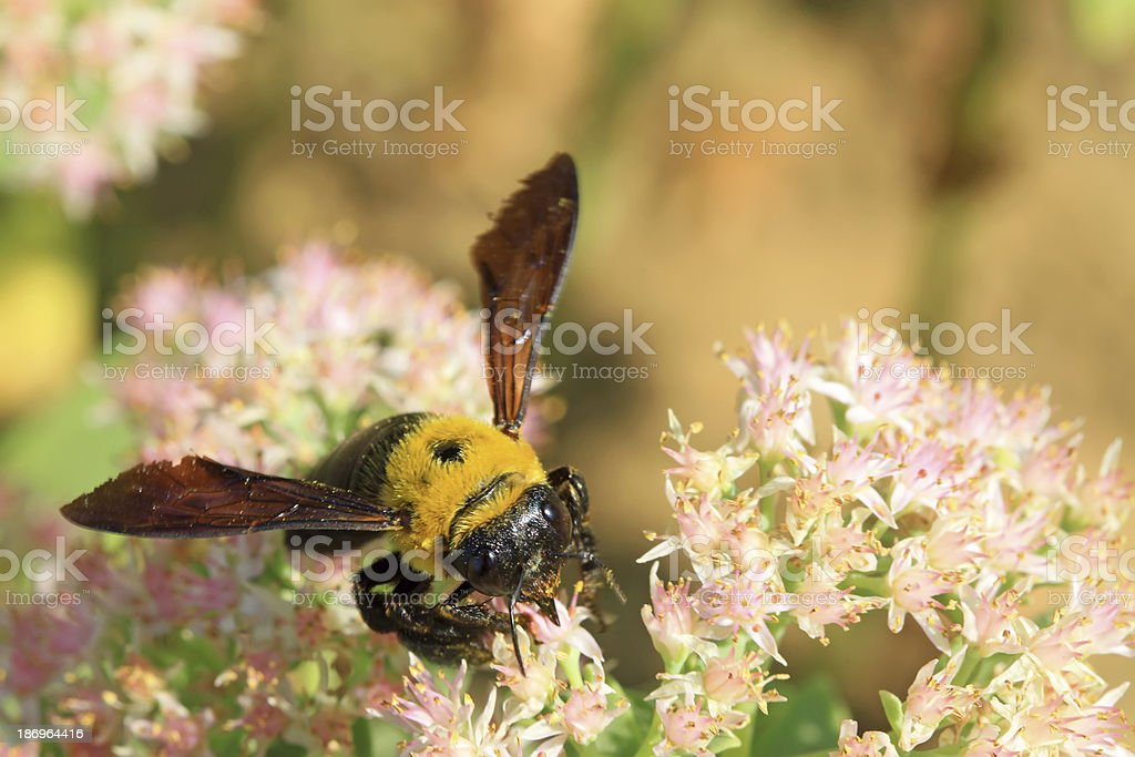 bees kind of insects royalty-free stock photo