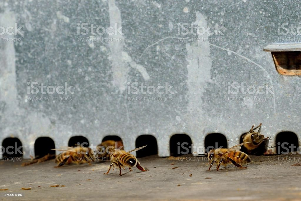 Bees leaving the hive stock photo