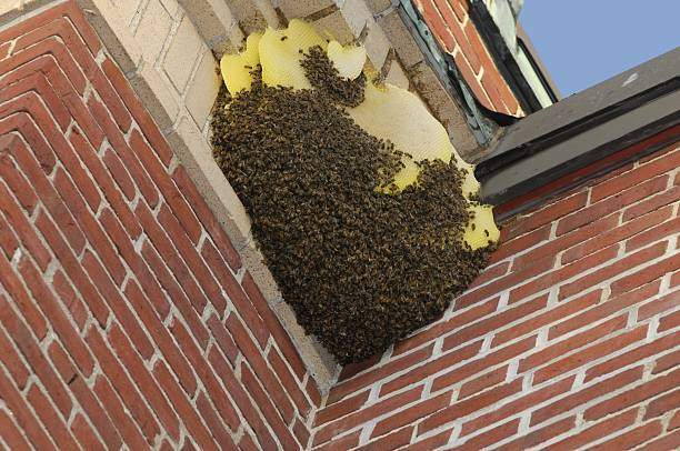 bees nest - swarm of insects stock photos and pictures