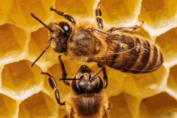 bees on a honeycomb stock photo