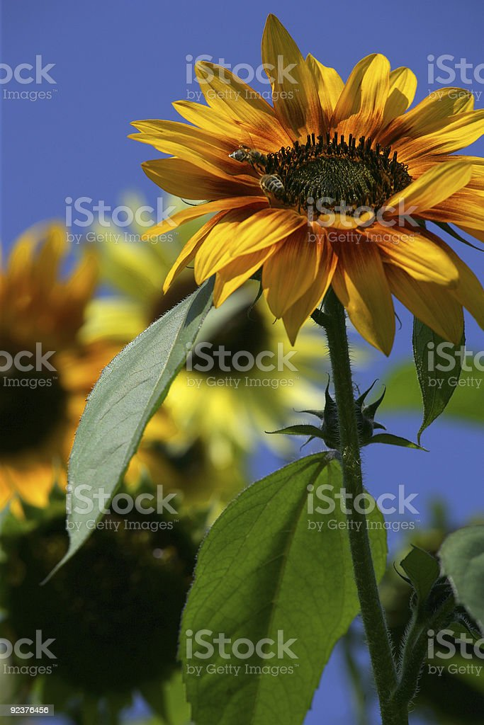 Bees on a sunflower royalty-free stock photo