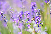 Bees fly from flower to flower lavender, close-up