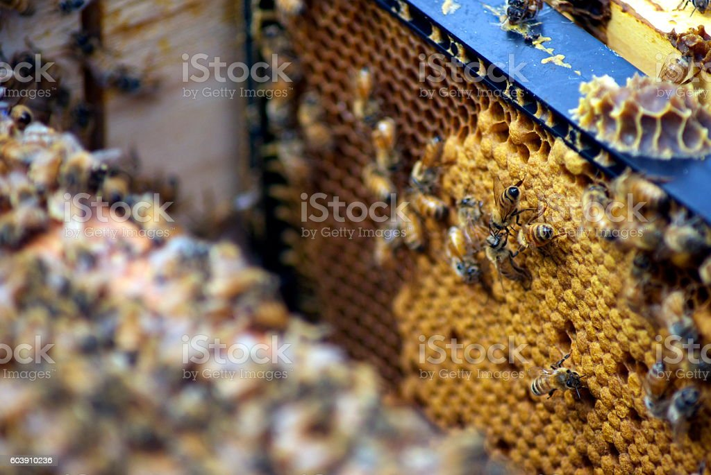 Bees on Honey Frames in Bee Hive stock photo