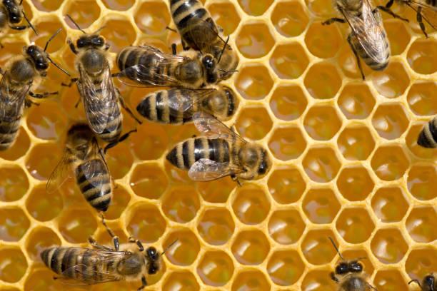 在 honeycells 上的蜜蜂圖像檔