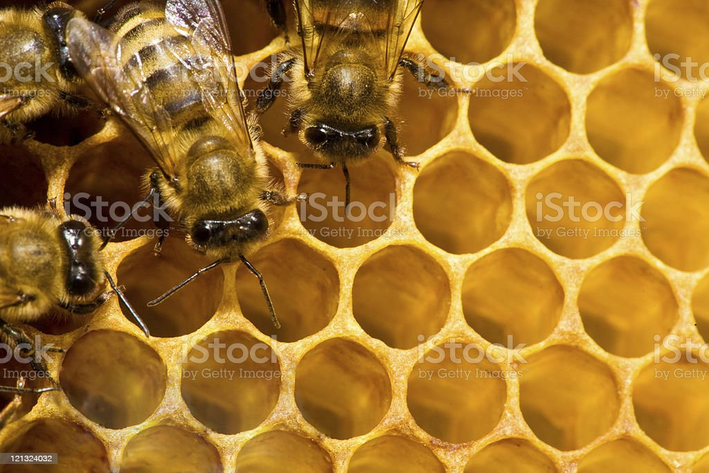 bees on honeycells stock photo