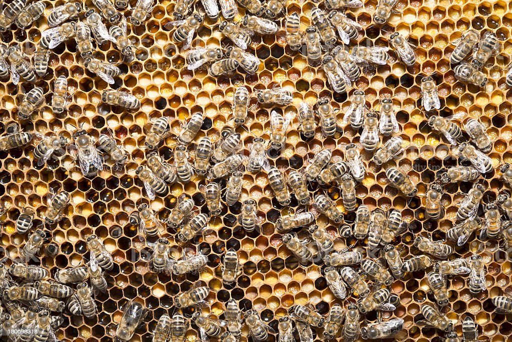 bees on honeycells royalty-free stock photo
