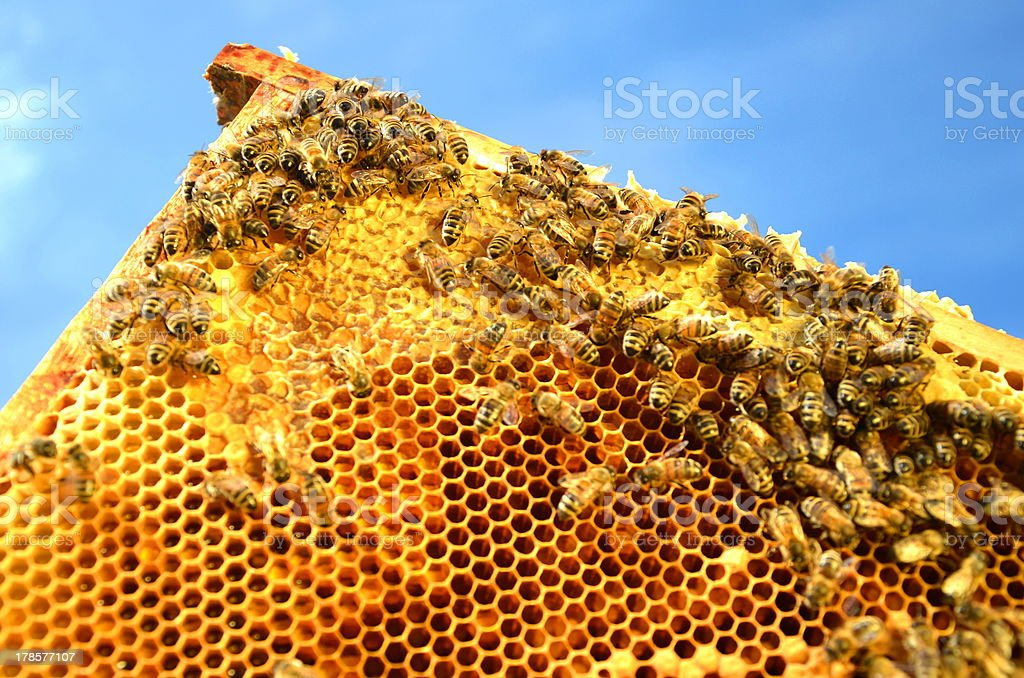 bees on honeycomb frame royalty-free stock photo