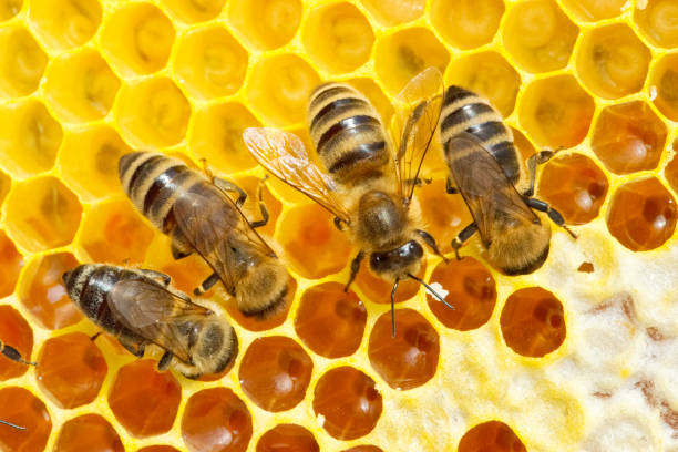 Bienen auf Bienenwabe – Foto