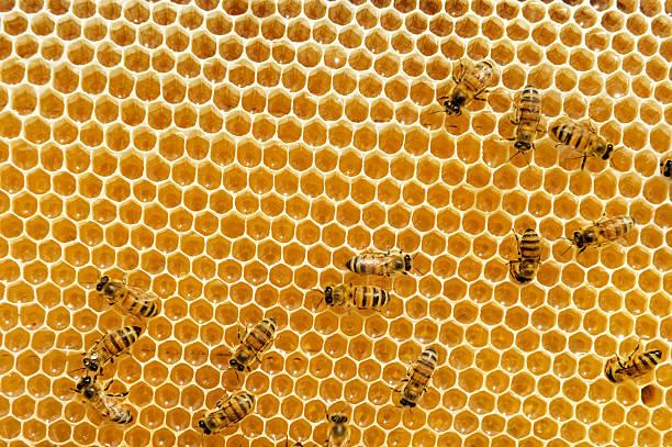 bees on honeycomb stock photo