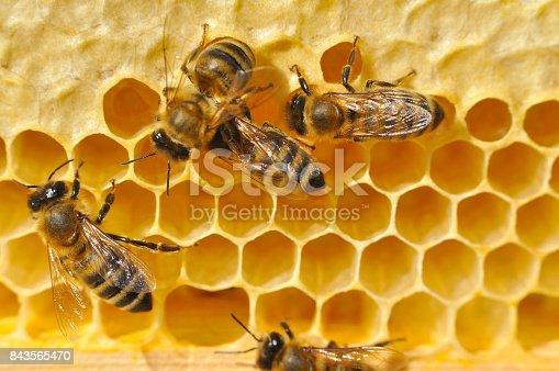 istock Bees on honeycomb. 843565470