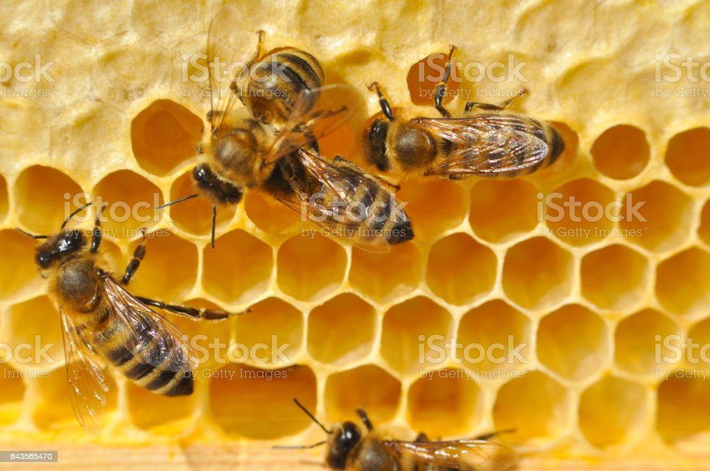 Bees on honeycomb. stock photo
