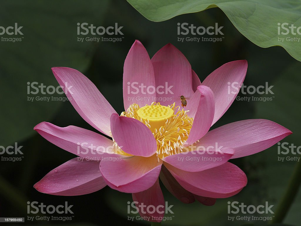 Bees on Water Lily royalty-free stock photo