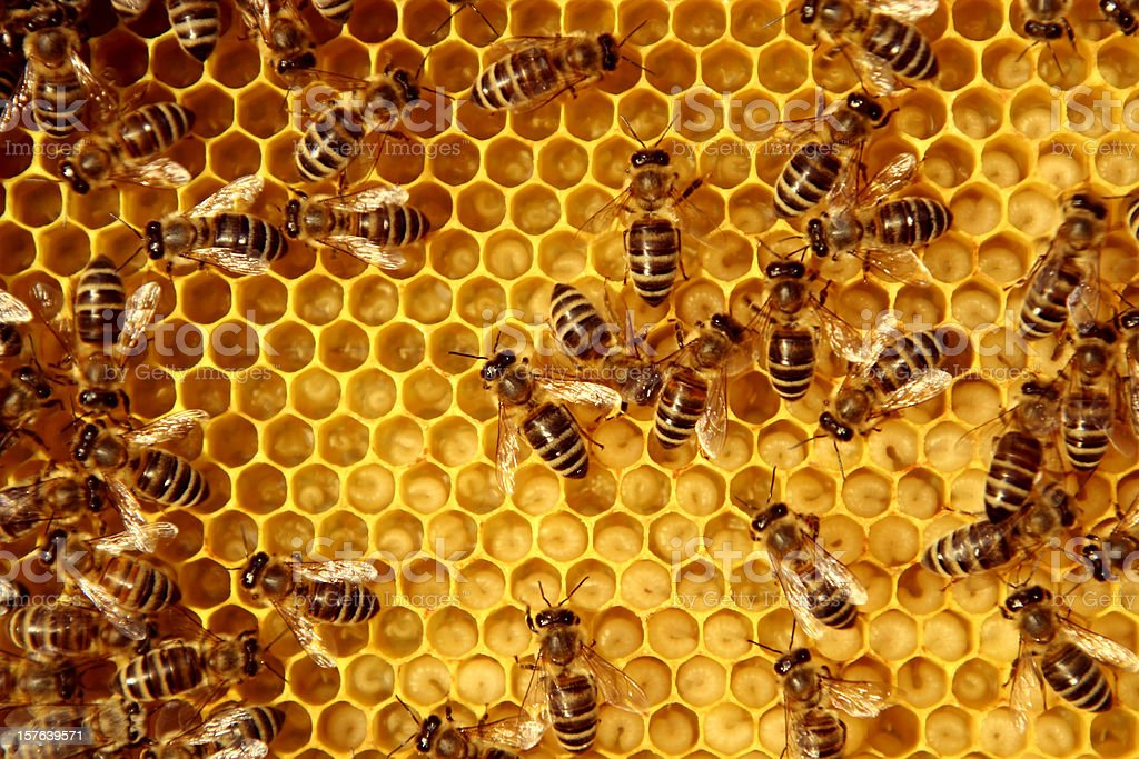 bees - Royalty-free Animals In The Wild Stock Photo