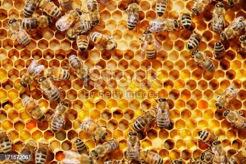 istock Bees 171572061