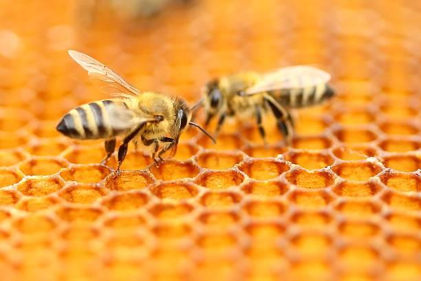 api  - ape domestica foto e immagini stock