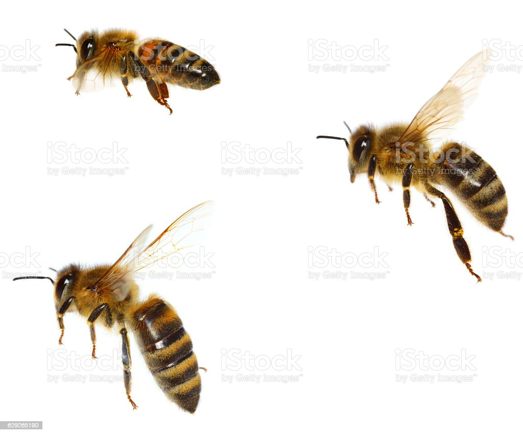 Bees stock photo