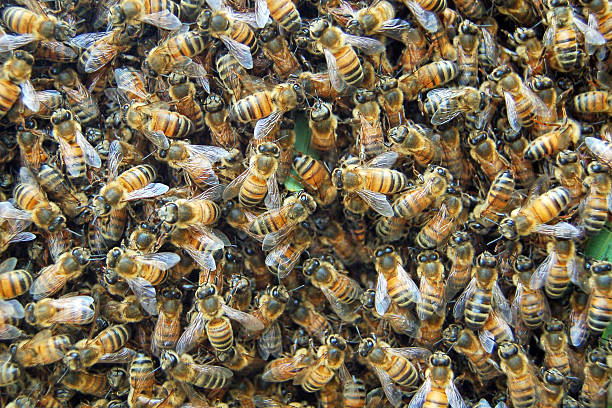 bees - swarm of insects stock photos and pictures