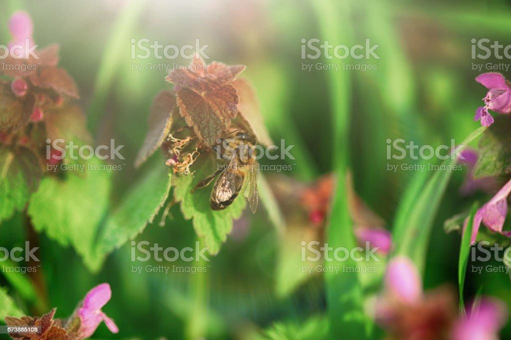 Arılar çiçekleri tozlaşmak royalty-free stock photo