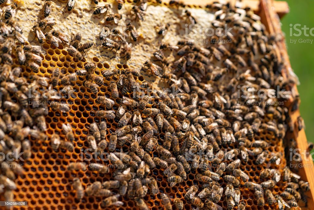 bees sit on honeycomb with honey in a wooden frame on a green background stock photo