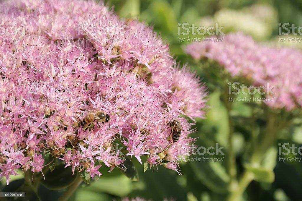 Bees Snacking on Sedum royalty-free stock photo