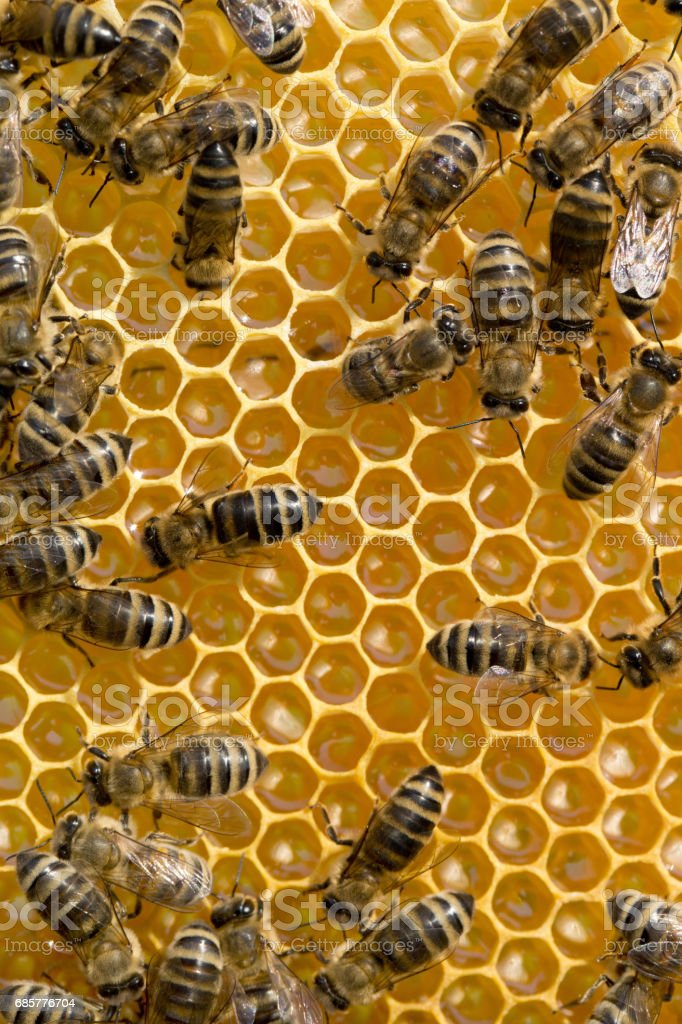 bees swarming on a honeycomb royalty-free stock photo
