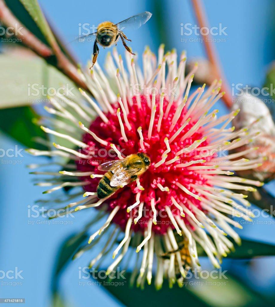 Bees visiting a pin-cushion hakea stock photo