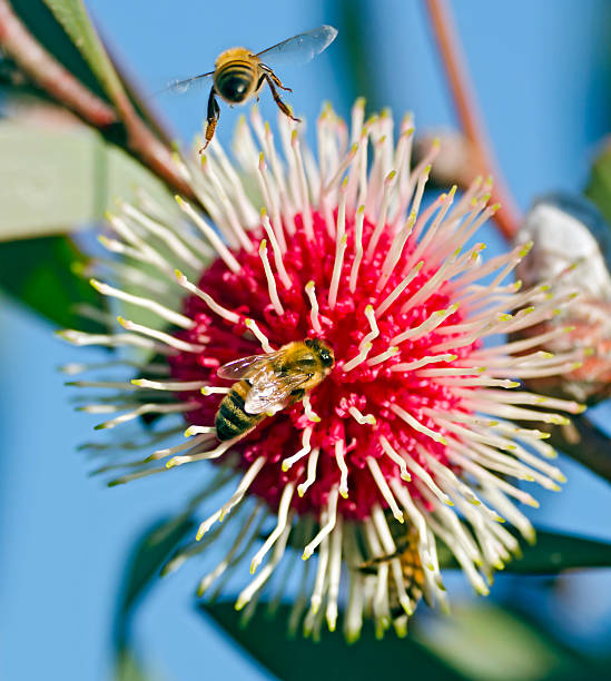 Bees visiting a pin-cushion hakea stock photo