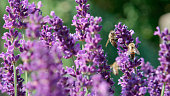 DOF, MACRO, CLOSE UP: Hardworking bees flying around lavender blossoms collecting pollen on sunny summer day. Insects pollinating fragrant violet lavandula bushes. Sunny herbal garden occupied by bees