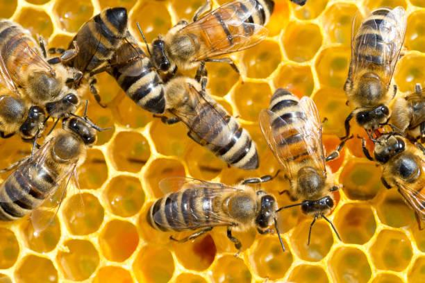 bees working in the beehive - ape domestica foto e immagini stock