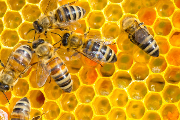 Bees working in the beehive stock photo