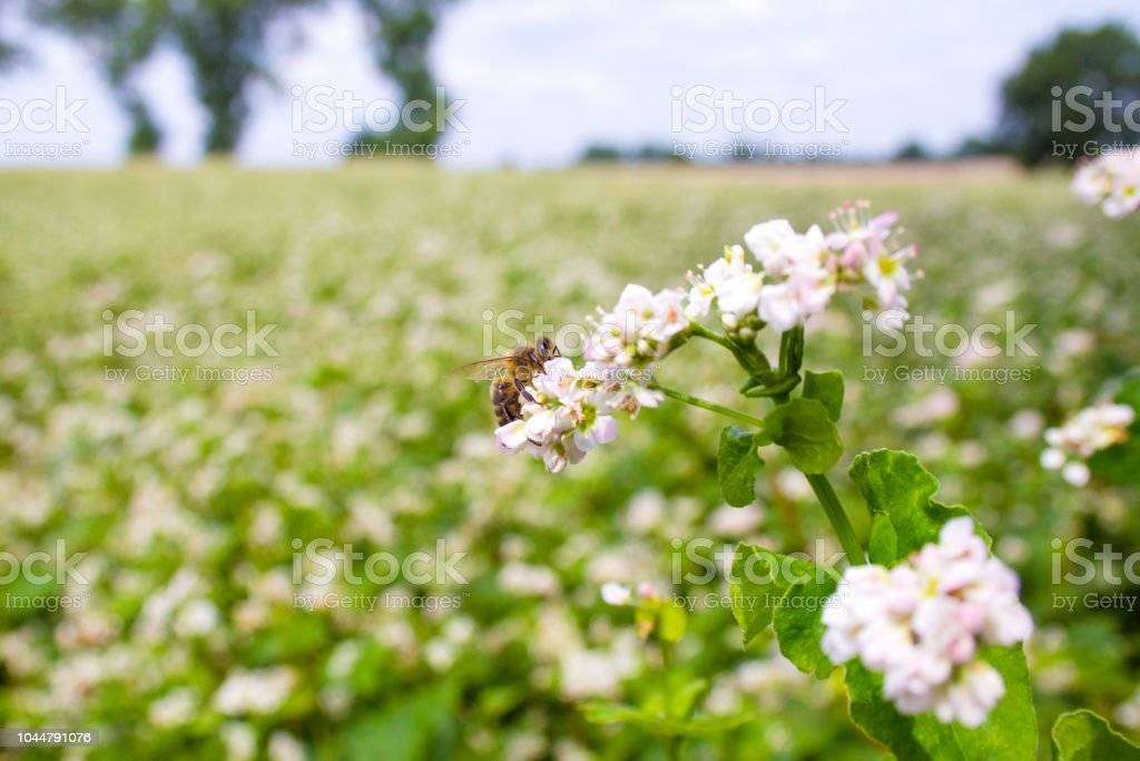 Bees working of common buckwheat. Collecting nectar for honey from cultivated flower fagopyrum esculentum. stock photo
