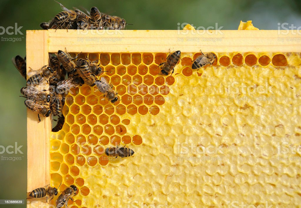 Bees working on a honey frame close-up stock photo