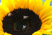Bees are collecting nectar from yellow sunflower in close-up
