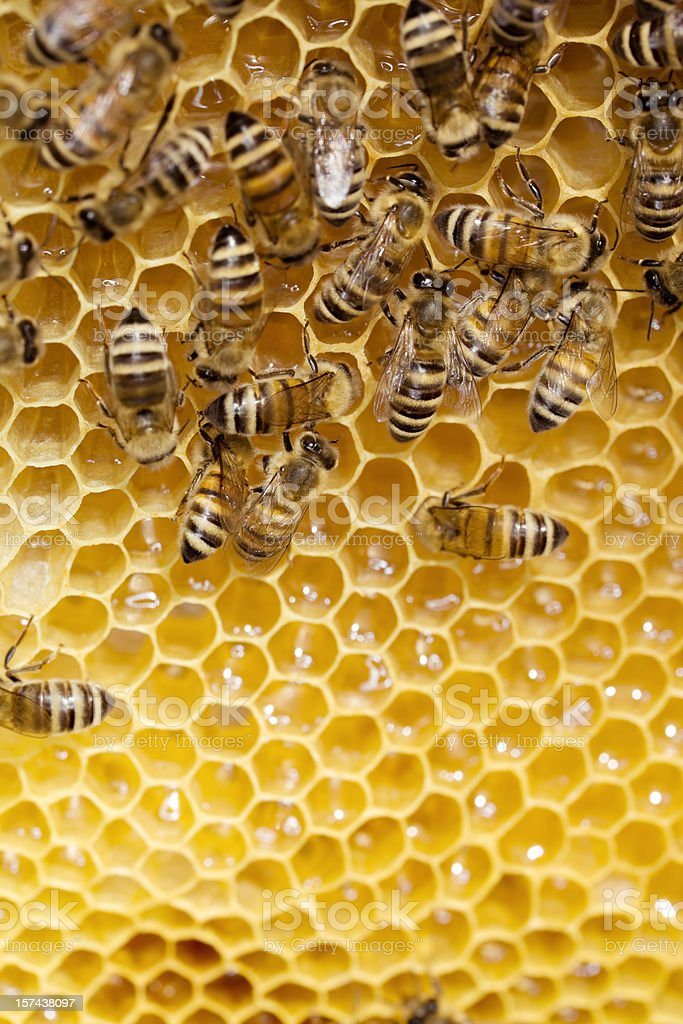 Bees working on honeycomb stock photo