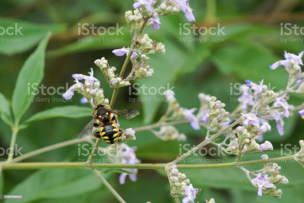 Bee-sherstova (lat. Anthidium manicatum) is a species of hymenopteran insects of the family megachile (Megachilidae) on a flower stock photo