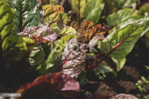 beet greens in a field in Honolulu, HI, United States