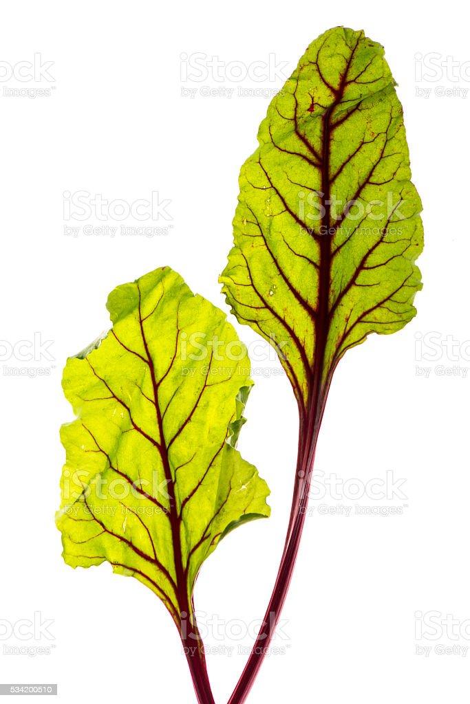 Beet greens, Swiss Chard (Beta vulgaris) stock photo