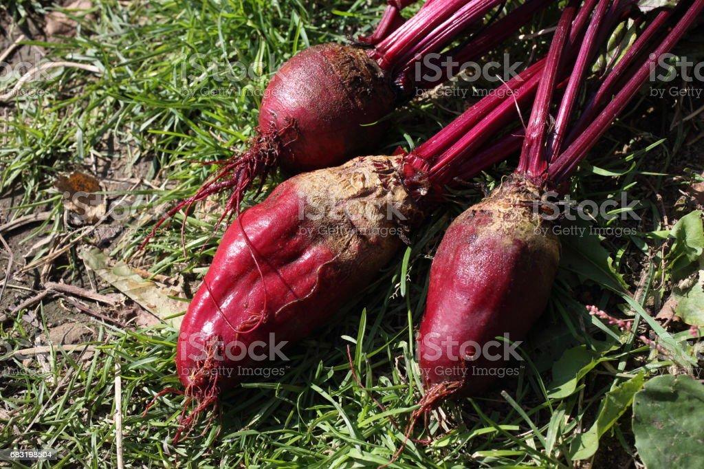 Beet harvest 免版稅 stock photo